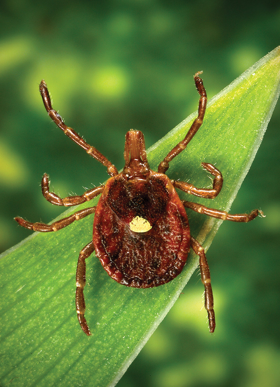 The adult lone star tick is common in Missouri and uses mammals and birds as hosts. Whitetail deer are its preferred host.(Photo by James Gathany, Centers for Disease Control and Prevention.)